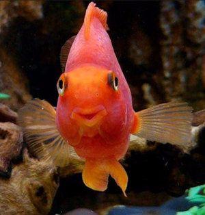 Как да се грижим за риба папагал в аквариум