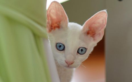 вуха кота