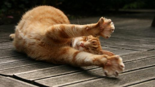 Передні лапи кота