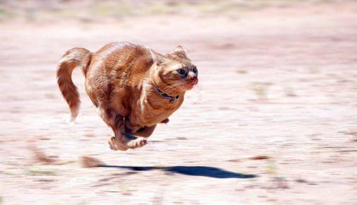 Кішка під час бігу