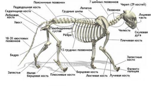 скелет кішок