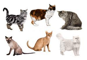 Как да определим породата на котка