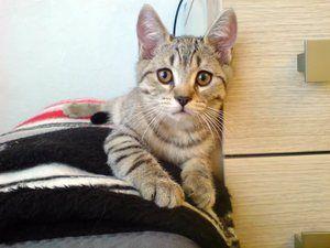 Класификация на породи котки