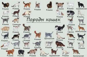 Как да разберете порода котка