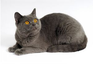 Характеристики на чистокръвни котенца