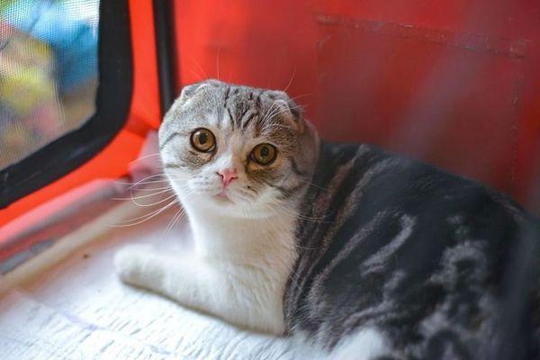висловуха кішка