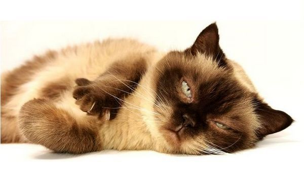 Сіамська кішка після в`язки