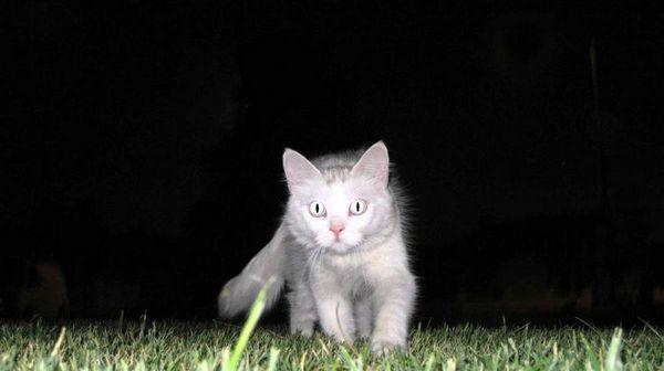Кішка полює вночі