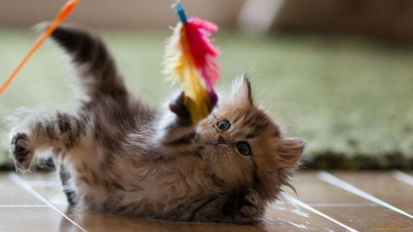 Кошеня грає з пером