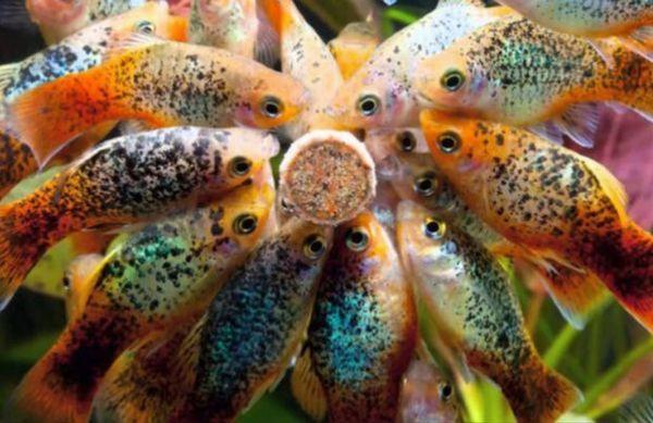 Рибки їдять сухий корм