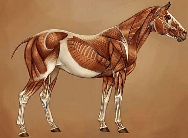 м`язи коня