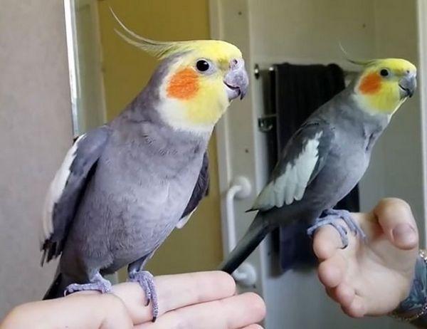 папуга Кореллі