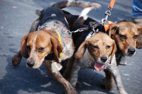 Сворка для мисливських собак
