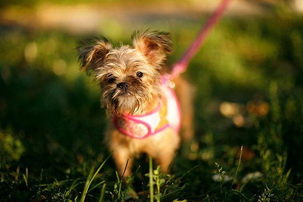 Шлейка для собак маленьких порід
