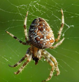 Ako vyzerá krížový pavúk, kde žije a čo žerie