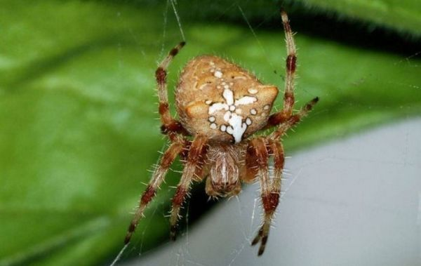 Кръстосан паяк