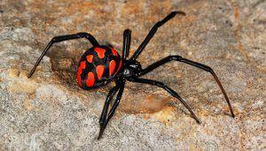 Ako vyzerá pavúk karakurt, kde žije a ako hryzie?
