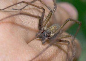 Как изглежда и какво да правите, когато паяк ухапе