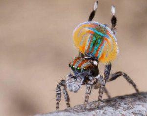 Ako vyzerá páv pavúk a kde býva?