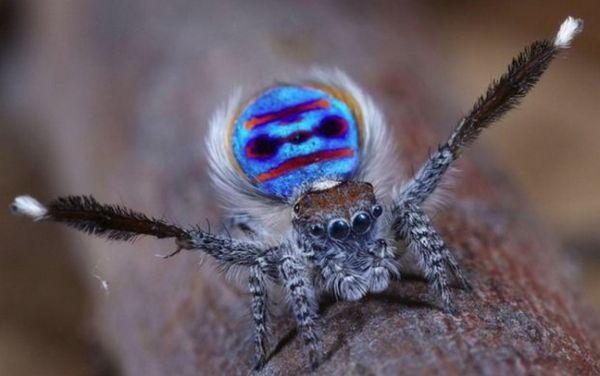 Páv pavúk