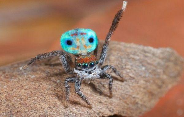 Pavúk páv