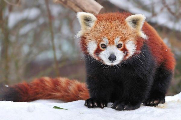 За габаритами червона панда порівнянна з домашнім котом