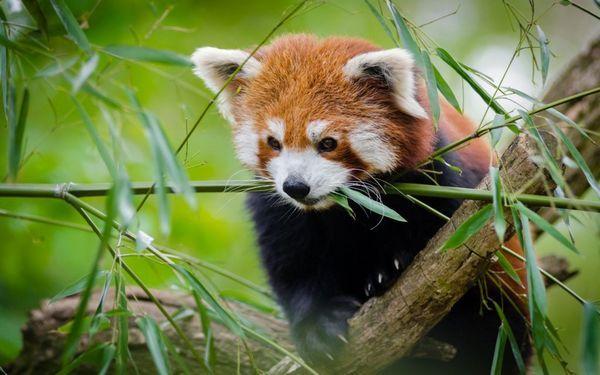 Живе мала панда в гірських бамбукових лісах