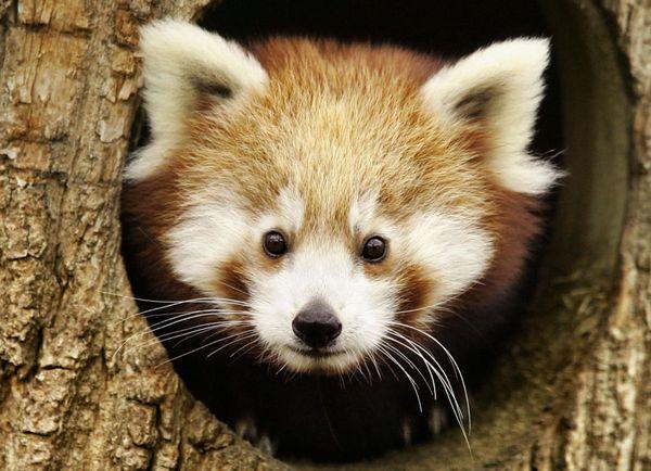 Днем червона панда відсипається в дуплах або гніздах
