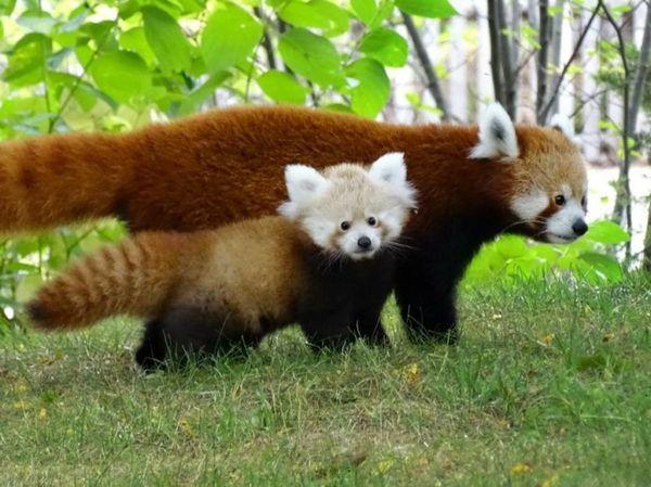 Цуценята червоної панди дуже прив`язані до матері, але не знайомі з батьком: він залишає партнерку відразу після спарювання