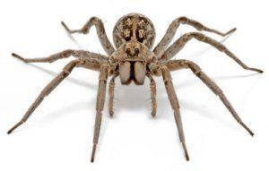 Ako vyzerá najväčší pavúk na zemi a aké sú rozmery
