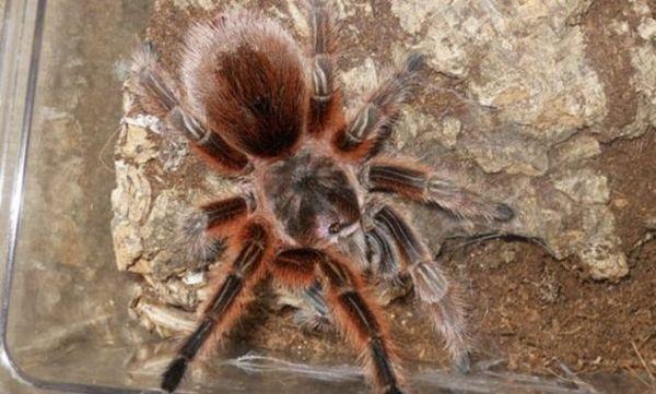 Лососево-рожевий павук-птахоїд
