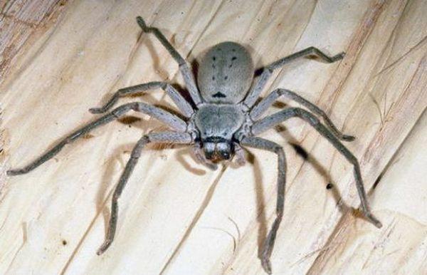 Гігантський крабовий павук