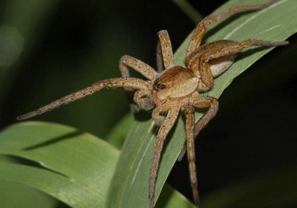 Великий Сплавний павук