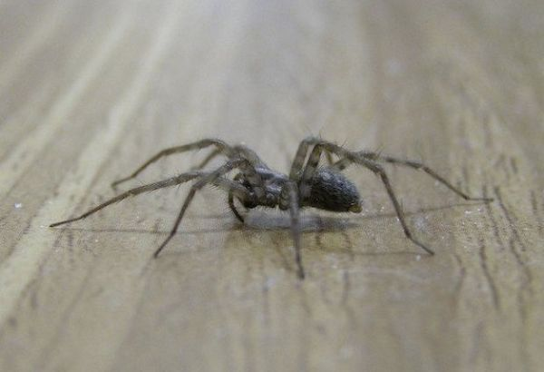 сірий павук