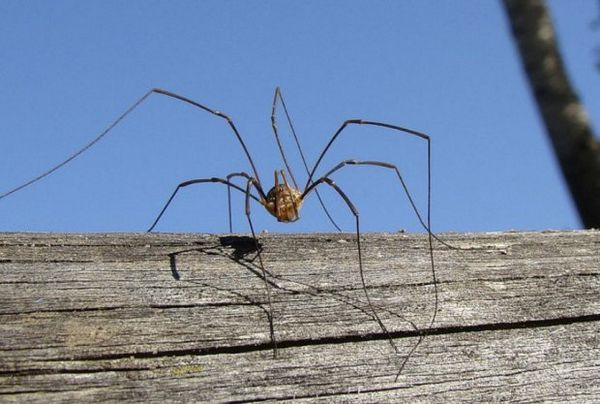 Павук-косарик