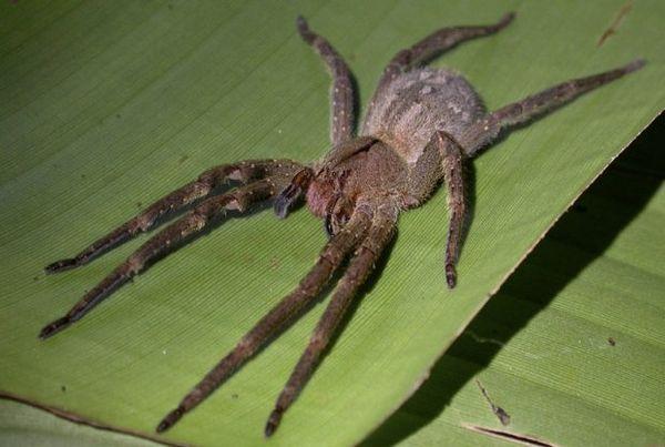 Бразильський мандрівний павук