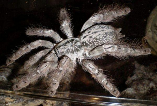 Павук-бабуїн