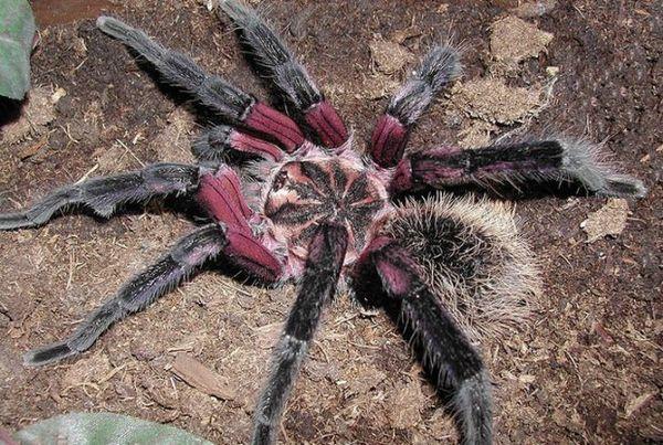 Колумбійський фіолетовий павук-птахоїд