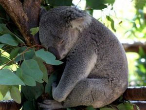 Житла коал