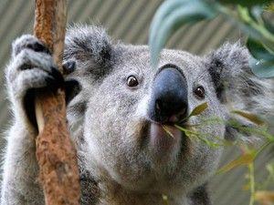 раціон коал