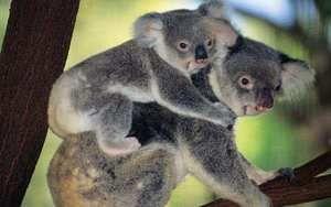 Де живуть коали