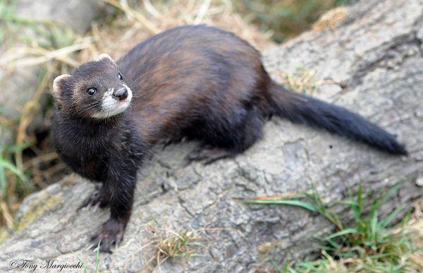 В середньому, довжина тулуба становить 40 см у самок і приблизно 50 см у самців