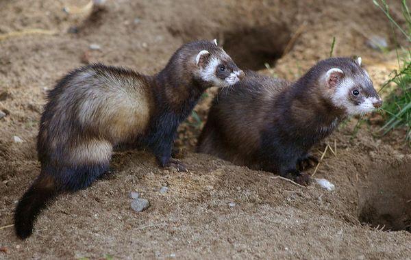 З родичами та іншими представниками свого виду він спілкується тільки навесні, в період спарювання