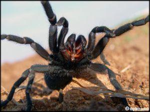 Ako vyzerá pavúk tarantuly - kto to je - je jedovatý alebo nie