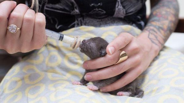 Годування новонародженого кошеняти зі шприца