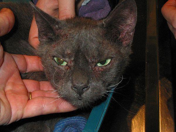 Ось так виглядає кішка, уражена підшкірним кліщем