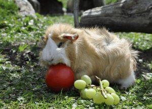 Морська свинка їсть яблуко