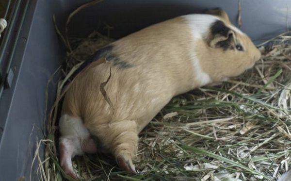 Хвора морська свинка