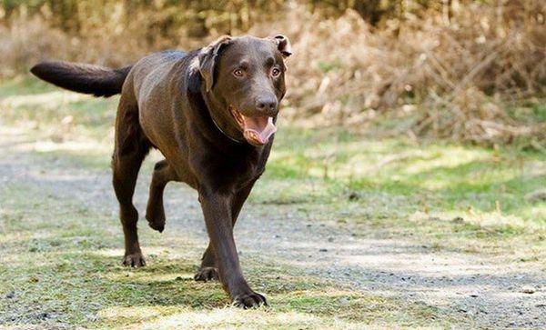 собака кульгає