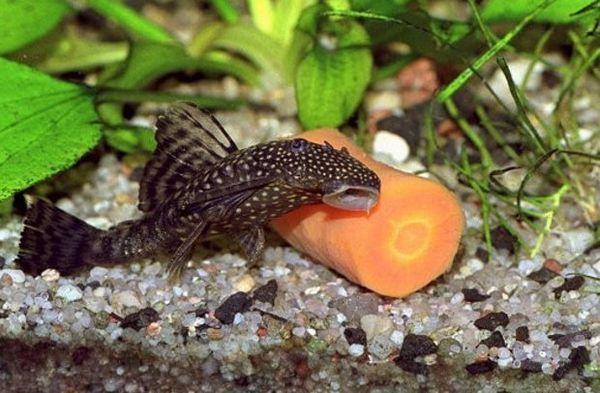 раціон риб